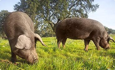Iberian hog in nature